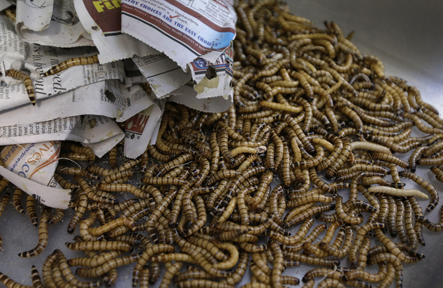 """Meal worms are unwrapped in preparation for baking Wednesday, Feb. 18, 2015, in San Francisco. A growing number of """"entopreneurs"""" are trying to persuade cons..."""