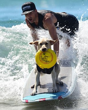 One dog holds a frisbee in his mouth while riding a surfboard in tandem alongside his owner on Huntington Beach in California