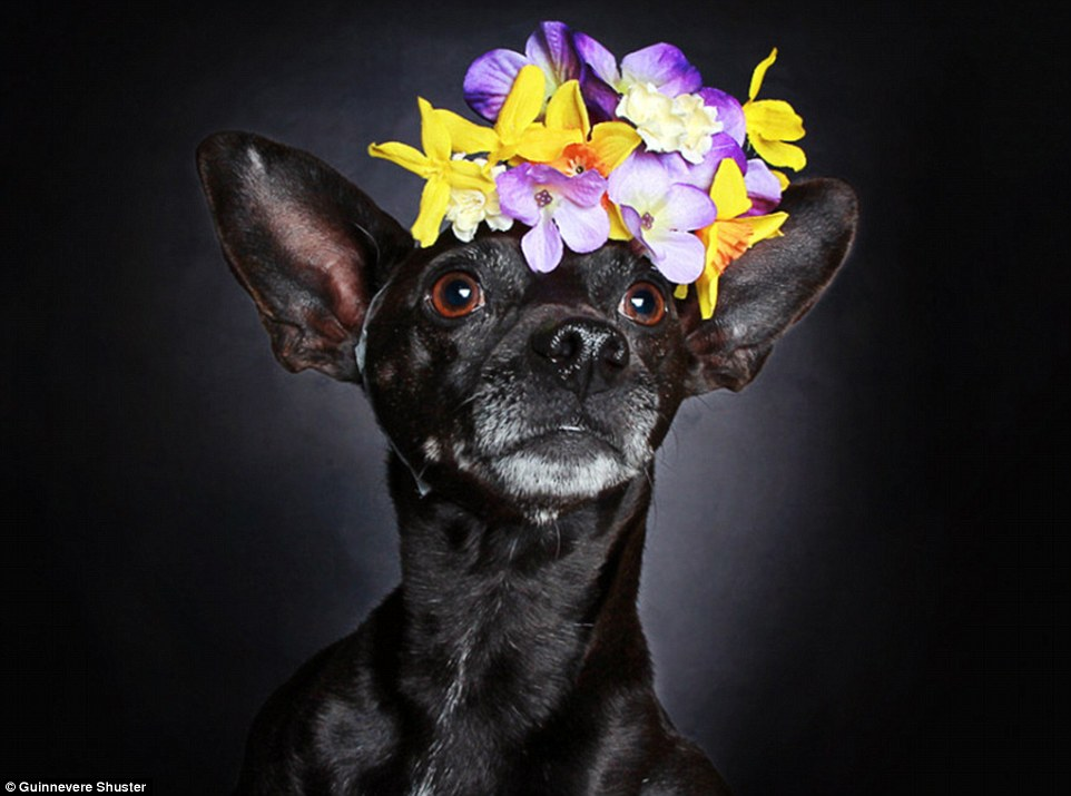 Striking: 'I hope people see how beautiful black shelter dogs are,' said the photographer. 'Using photography to feature adoptable animals is a passion of mine. I'm always trying to come up with ideas to help those who need it most.' Above, three-year-old Thomas (adopted)