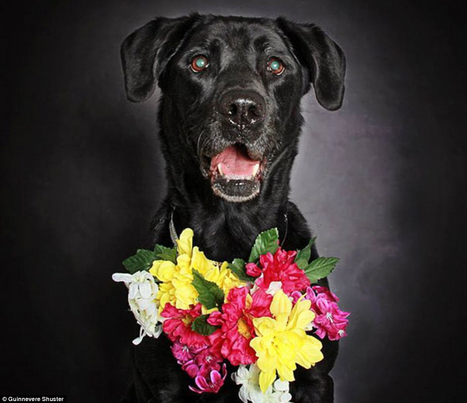 Success: Following Ms Shuster's images' success, a number of other canine shelters and rescue groups in the area have inquired as to how they can highlight their black dogs' features in a bid to enhance their chance of being adopted. Above, 10-year-old Cassie (adopted)
