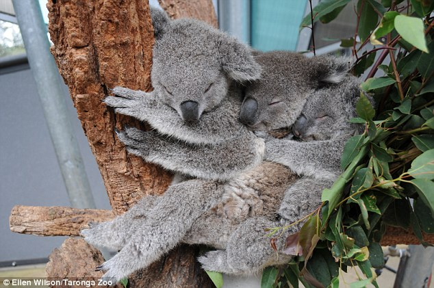 (left to right) Female koalas Milli and Sydney cuddle up to a 12-month-old Tucker in a rare embrace