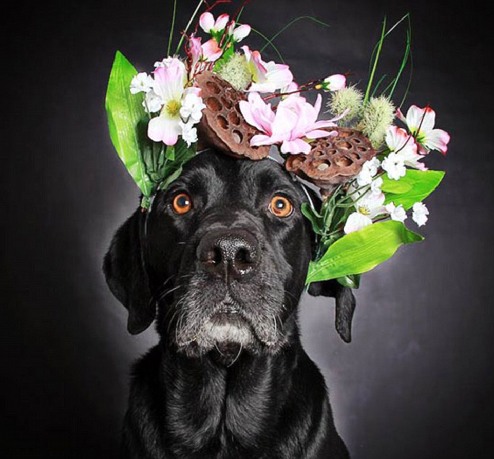 Adopted: Speaking of her pictures, Ms Shuster said: 'People often comment on how black dogs do not photograph well, so I really wanted to show that they can.' Above, 10-year-old Ricky, one of the two black Labradors that were adopted in the wake of the photo series