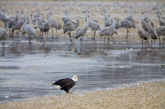 In this Friday, Feb. 6, 2015 photo, a bald eagle stands on the shore of a pond where sandhill cranes had gathered at a roosting location along their winter m...