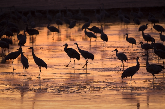 In this Friday, Feb. 6, 2015 photo, sandhill cranes begin to stir after resting for the night at a roosting location along their winter migration route in Ce...