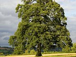 ANDXM4 Oak tree in meadow in the Cotswolds England United Kingdom