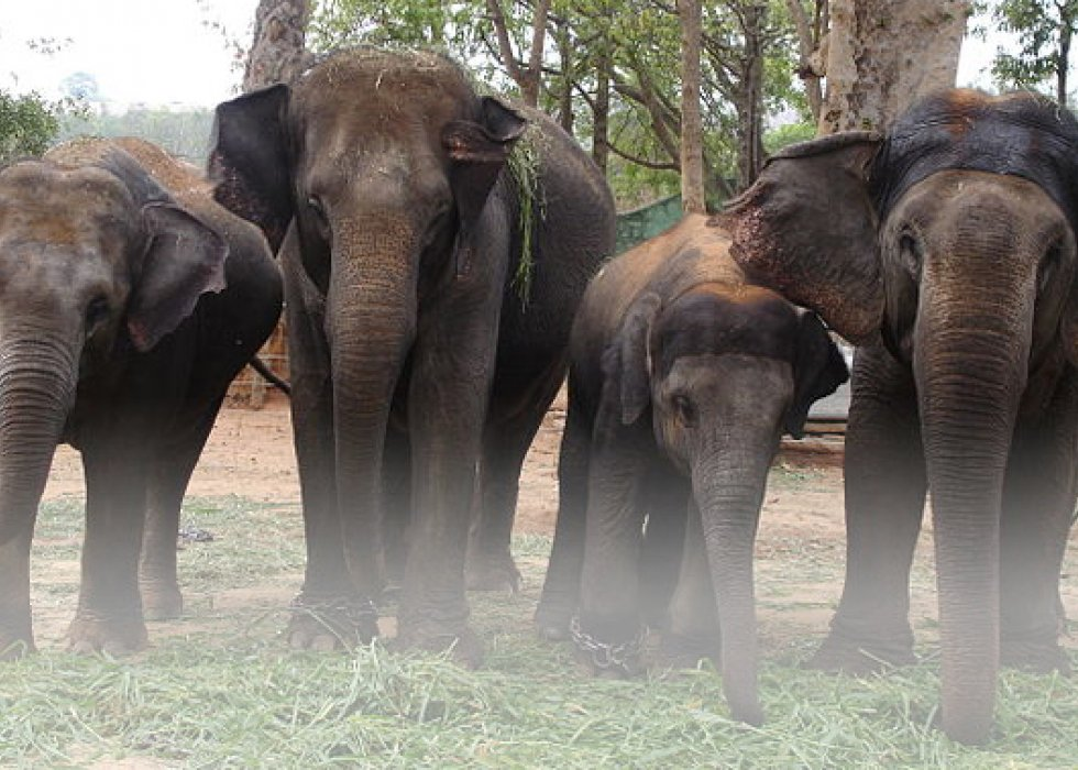 Protect the Asian Elephant