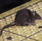 FILE - In this Jan. 27, 2015, file photo, a rat crosses a Times Square subway platform in New York. Itís a problem practically as old as New York itself, how to handle the untold legions of rodents residing in the city. Last year, the city received more rat-sighting calls than ever before, and officials, led by a city rat scientist, are trying new and innovative ways to control the population, with mixed results. (AP Photo/Richard Drew, File)