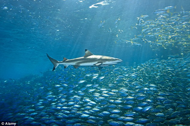 Hunting grounds: Above, a stock image of a Blacktip shark, one of the species of shark thought to be seen in the pictures taken Thursday near Sebastian Inlet
