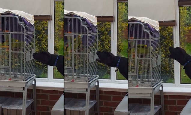Parrot wins argument with labrador dog named Jax by BARKING at him