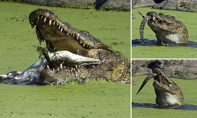 Cannibal crocodile seen eating a young reptile in Kruger National Park