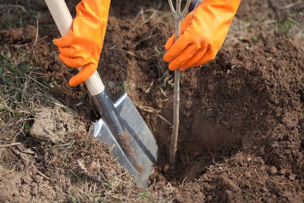 4a9034 - Какие деревья и почему лучше сажать осенью?