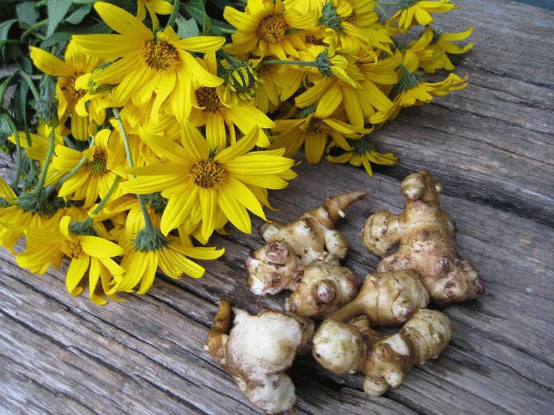 content grow jerusalem artichokes  econet ru - Начнете выращивать топинамбур и Вы навсегда откажетесь от картофеля
