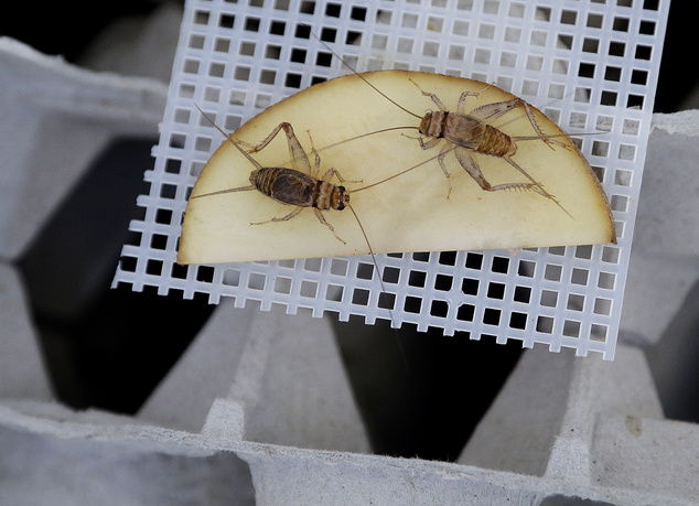 Banded crickets retrieve moisture from a sliced potato in an experimental cricket habitat made from egg cartons Monday, Feb. 9, 2015, in Oakland, Calif. (AP ...