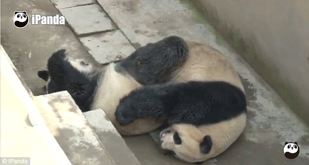 Giant Pandas have notorious difficulty with reproducing in captivity, with the length of copulation believed to be a particular problem