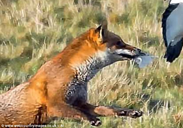 Spitting feathers! The unsuccessful fox drops back down to earth