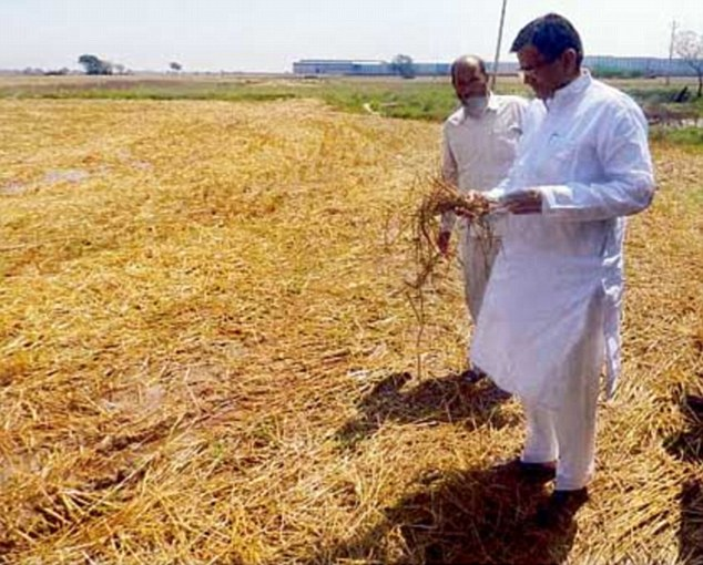 Agriculture minister O.P. Dhankar assesses the loss of crops caused due to the rains in Jhajjar district