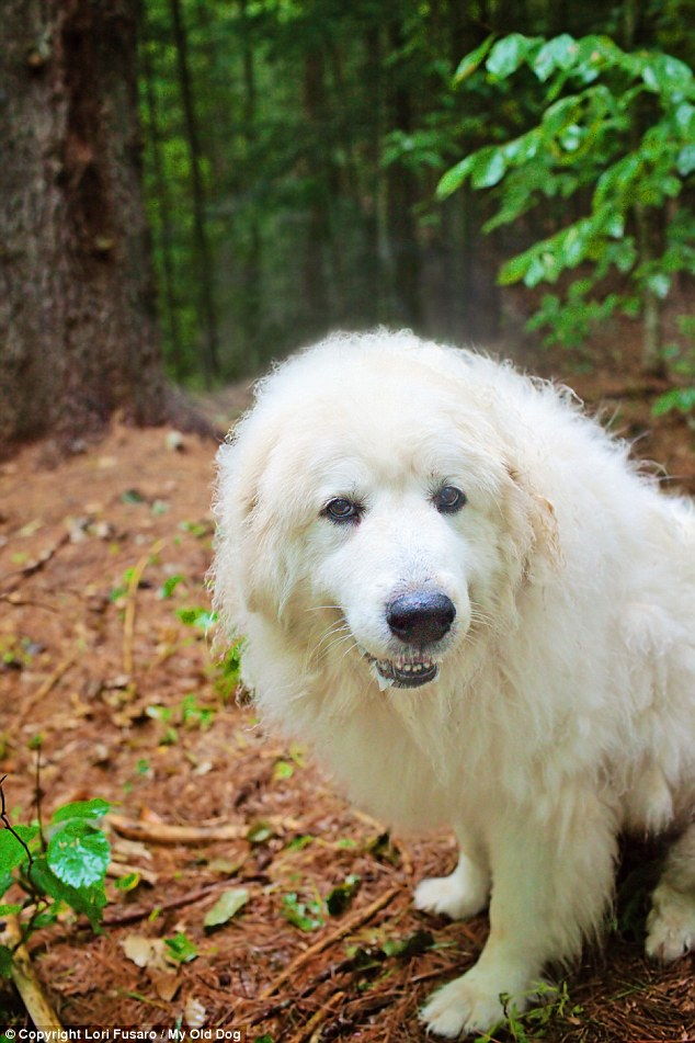 Big family!: Boomer is one of 21 senior rescue dogs living with mystery novelist David Rosenfelt and his wife Debbie Myers at their 10-acre lakeside home in Maine
