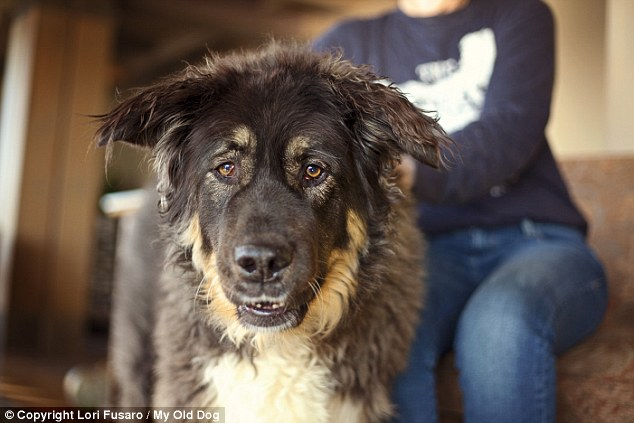 Furry friend: 10-year-old Casey is one of the rescue dogs owned byretired Nordstrom chairman Bruce Nordstrom and his wife Jeannie