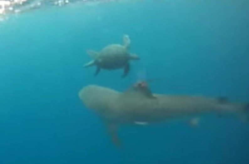 Tiger shark attempts to bite sea turtle but turtle uses defensive strategy.