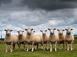 A flock of Dorset ewes in Cornwall.  D37JC7