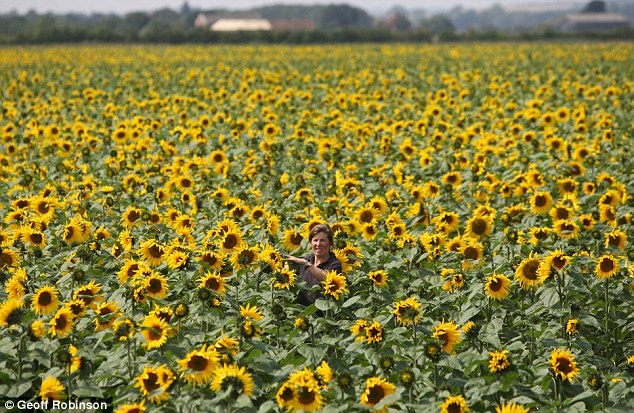 Different outlook: These towering specimens almost entirely hide Lucy Watts at Britain's biggest sunflower farm in Spalding, Lincolnshire