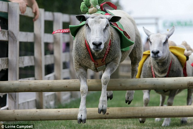 Baa-my: The farm's most agile sheep are put through their paces on a racecourse mimicking Aintree's Grand National