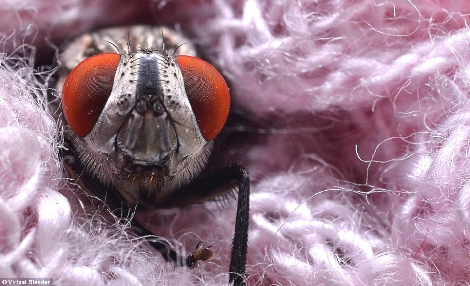 Red alert: A stunning close-up of a fly caught up in some pink wool is an incredible example of macro-photography