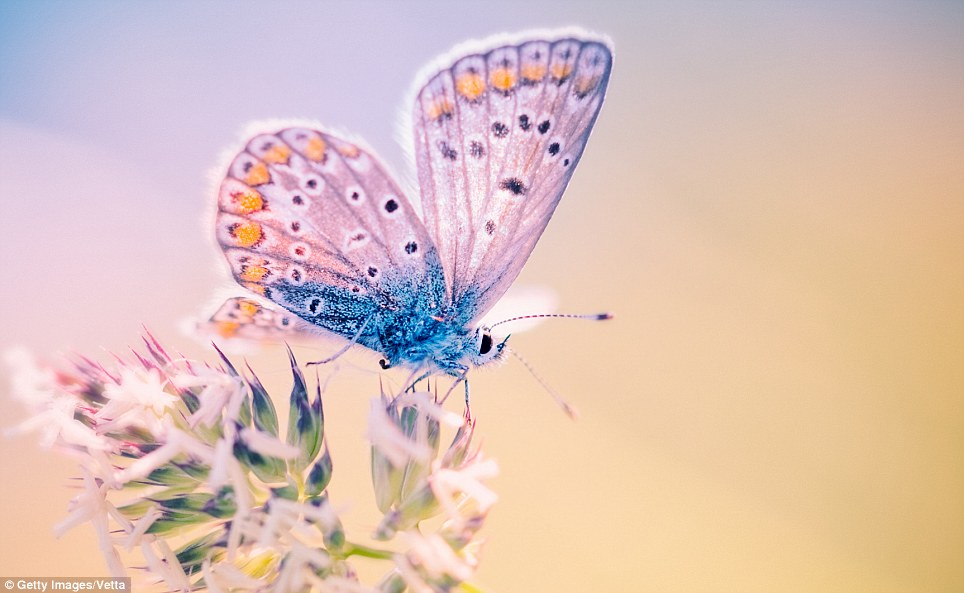 Pretty in pink (with a dash of blue): The common blue butterly, the Polyommatus icarus, a Northern Hemisphere variety