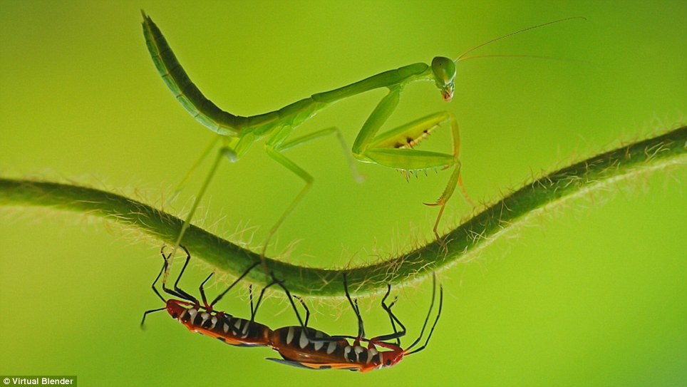 Peek-a-boo: A praying mantis and another unspecified bug play cat and mouse on a branch