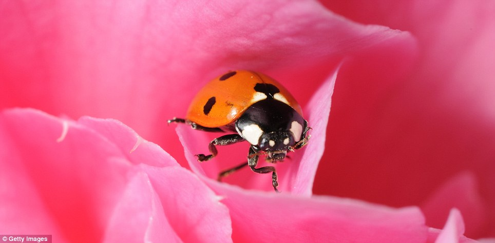 Getting cozy: Seven spot ladybird, the Coccinella 7-punctata appears comfortable in a camelia