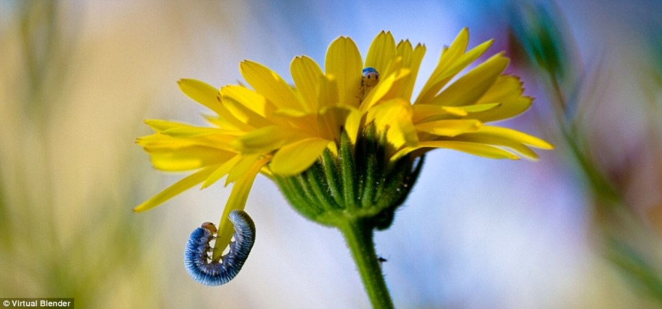 Primary colours: A bright blue caterpillar with a yellow face make its way round a petal but, wait, what's that hiding in the middle of the flower ... his buddy, perhaps