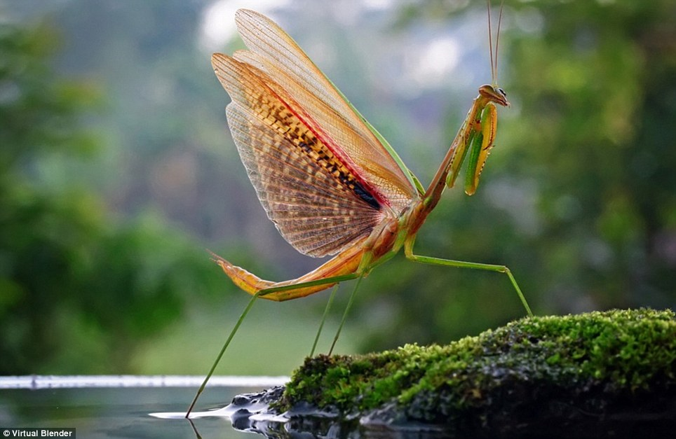 It came from another planet: A praying mantis in her all glory