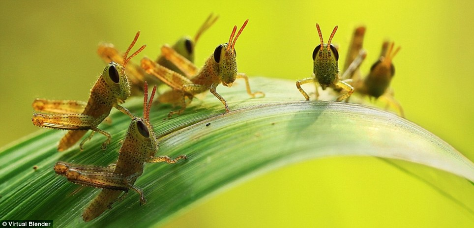 The great debate: Grasshoppers meet on the broad leaf of a plant to make a lot of noise together