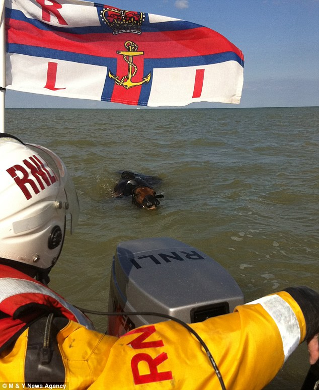 Out at sea: The horse, named Shallimah, swam half a mile out to see in the English Channel from Sandwich, Kent