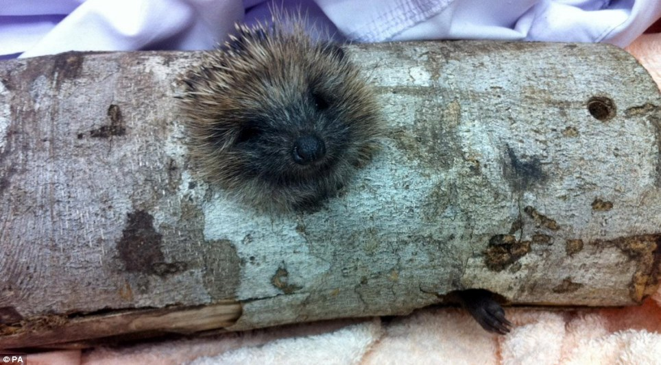 Prickly customer: This cute critter was found trapped in a tree trunk in Nottingham