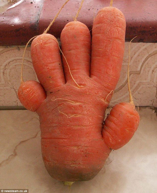 A five fingered carrot hand that was grown by Peter Jackson at his home in Shropshire. Credit: newsteam.co.uk 18/9/2009.