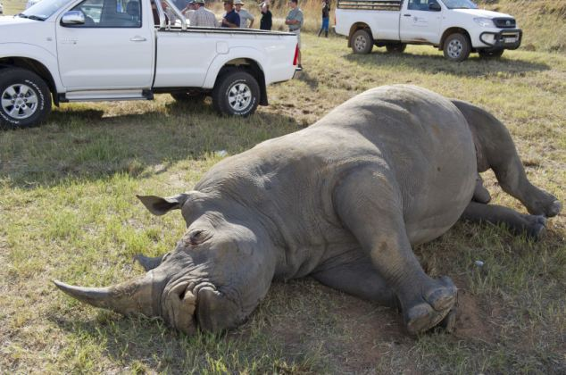 Tragic: The carcass of a seven-year-old white rhino bull killed in a road crash on the Dinokeng Game Reserve, near Pretoria, South Africa
