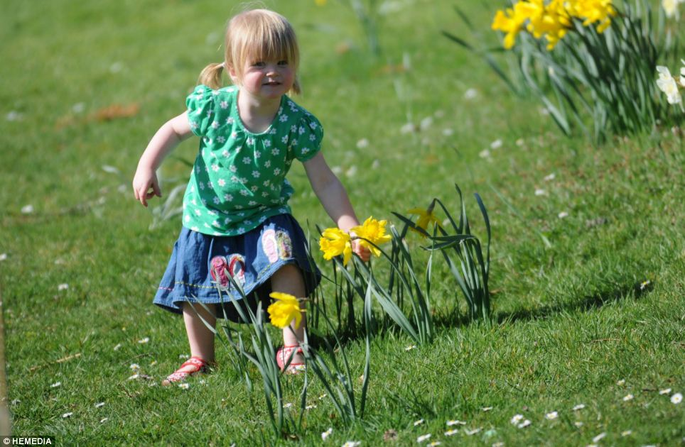 Charlotte Robertson, two, played among the daffodils in a park in Aboyne last week where the mercury hit 26.3C. This morning the temperature was just 0.9C
