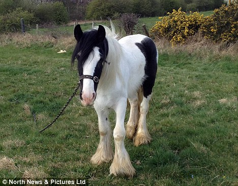 Powerful: One of the ponies in the field where the incident took place. The grazing spot in the St Luke's Road area is said to be popular with local families