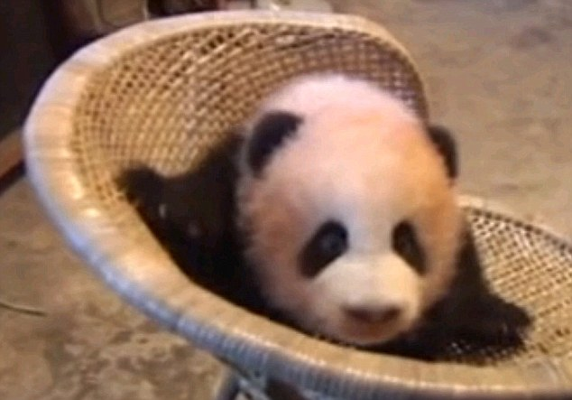 Say cheese: The adorable four-month old baby panda is being nursed to full size at a zoo in China