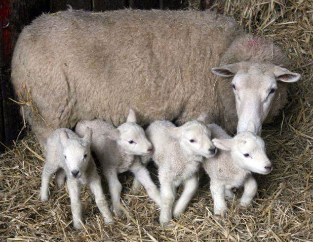 Proud mum: The four lambs were the second set of quads Polly gave birth to in ten months