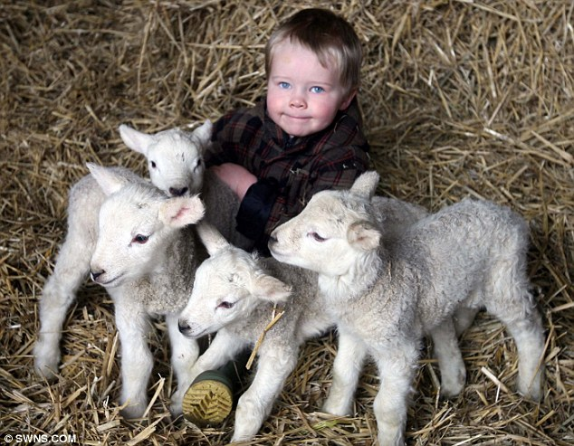 The couple's three-year-old son Harry with the lambs, who were born on December 29