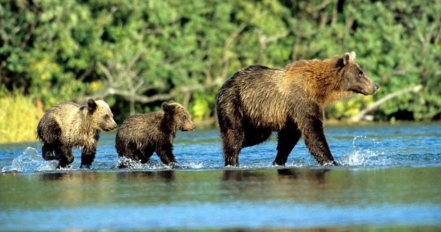 Keeping pace: Two cubs follow their mother across the river at Glacier Bay National Park and Preserve in Alaska