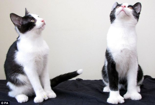 Brothers in arms: The kittens have extra digits due to a harmless genetic quirk