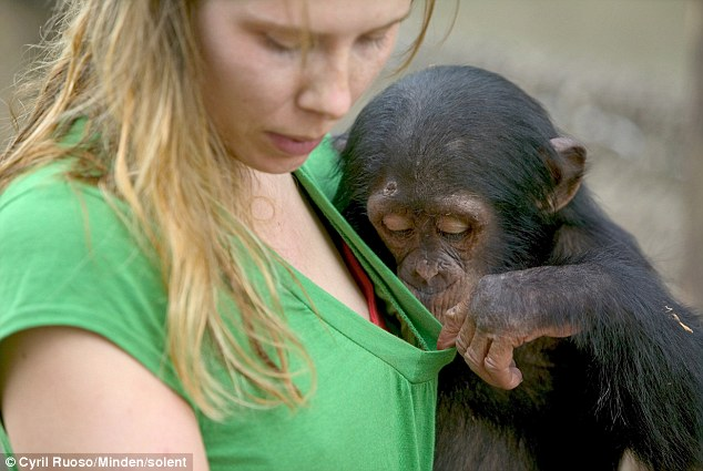 Cheeky: Two-year-old chimp couldn't resist taking a quick peek down his keeper's top