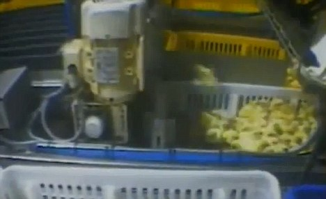 Footage: Undercover video taken at Cal-Cruz Hatcheries shows young chicks being 'treated inhumanely', according to an animal protection group