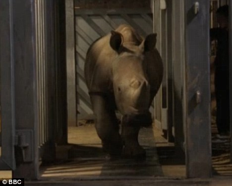Gait scan: One of the rhinos walks through the narrow gap at Colchester zoo, with the long black sensor board visible beneath its feet