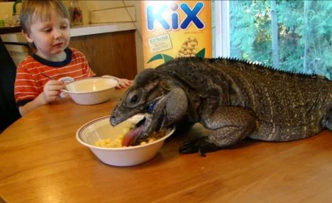 Family time: Adorable Logan, aged four, and the family pet rhinoceros iguana Buddy, aged six, sit chomping their identikit breakfasts of Kix and bananas