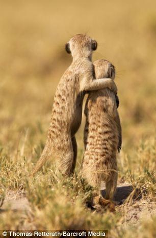 Watchful: Two meerkats in Makgadikadi Salt Pan, Botswana scanning the horizon