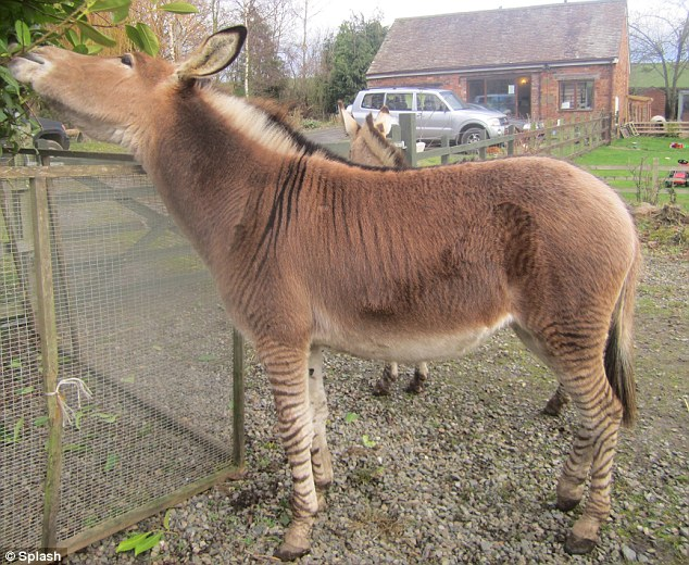 Zonkey: Zambi 's mother is a Giant Mammoth Jackstock Donkey and her father a Grevy's Zebra